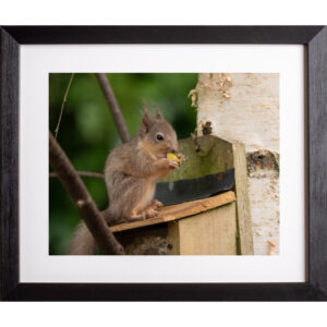 Apple boy red squirrel photograph Isle of Wight