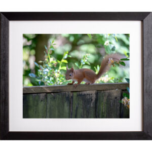 Baby red squirrel photograph Isle of Wight