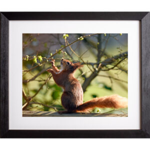 Spring greens red squirrel photograph Isle of Wight