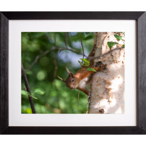 peek-a-boo red squirrel photograph