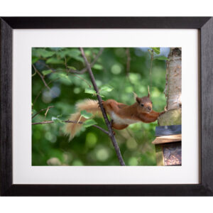 full stretch red squirrel photograph